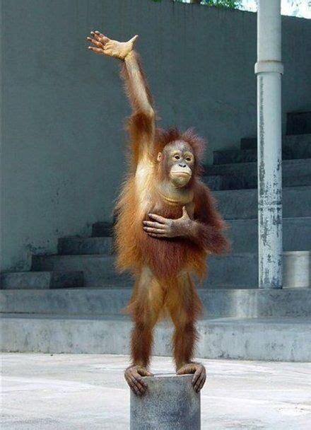 monkey raising hand blank template imgflip