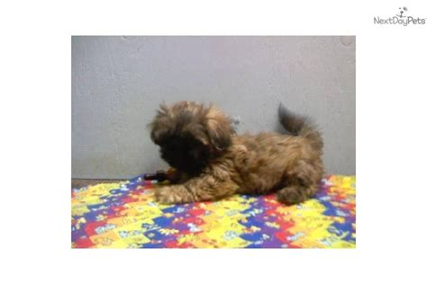 brindle shih tzu puppies meet lucky a shih tzu puppy for sale for 225 brindle shih tzu puppy