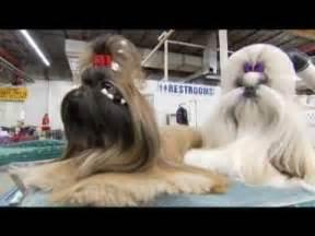 shih tzu 101 dogs 101 shih tzu
