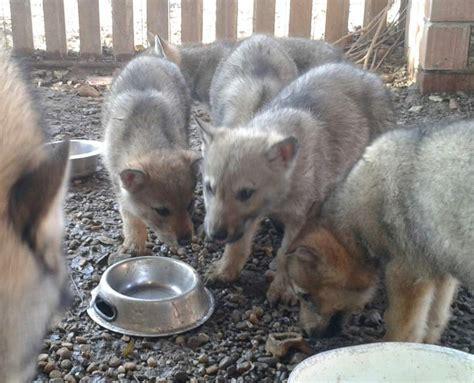 regalo cane lupo cecoslovacco cuccioli cane lupo cecoslovacco a milano kijiji annunci