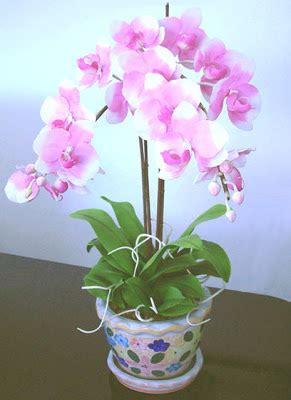 orchid delivery orchids orchid flowers 6 1 09 7 1 09