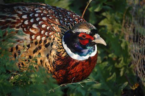Backyard Pheasants by Ring Necked Pheasant Audubon Field Guide