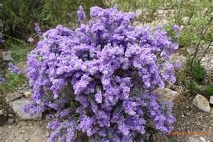 Curriculum Vitae History by Leucophyllum Zygophyllum Blue Ranger Zona Gardens