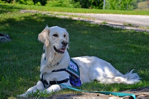 how to service dogs as a career a service and of service dogs dogalize