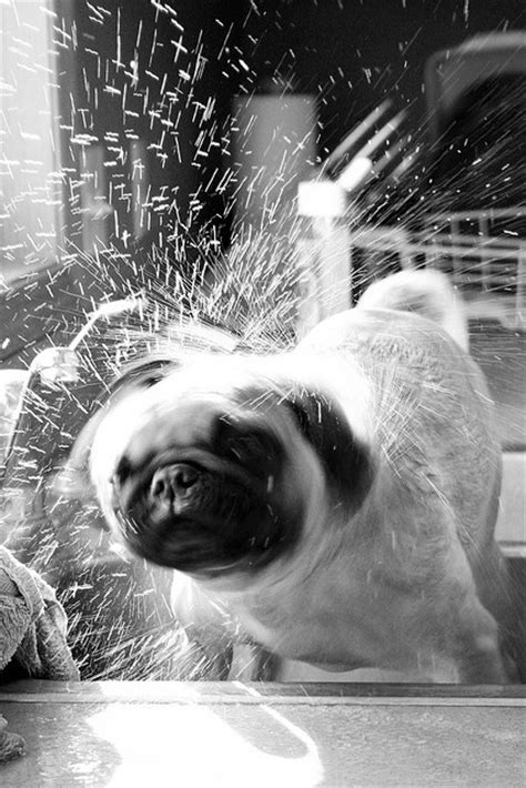 pug shivering 36 best images about dogs shaking on pictures of dogs mammals and pet
