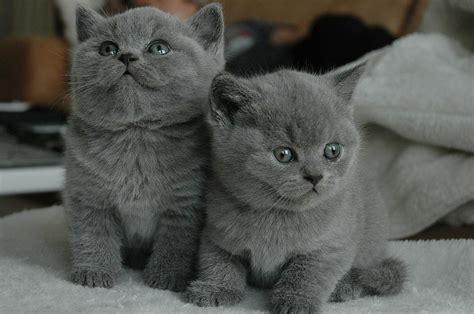 swings katze the shorthair cat cat breeds encyclopedia