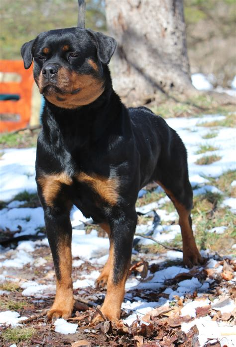 rottweiler puppies for sale in ga katniss rottweilers llc