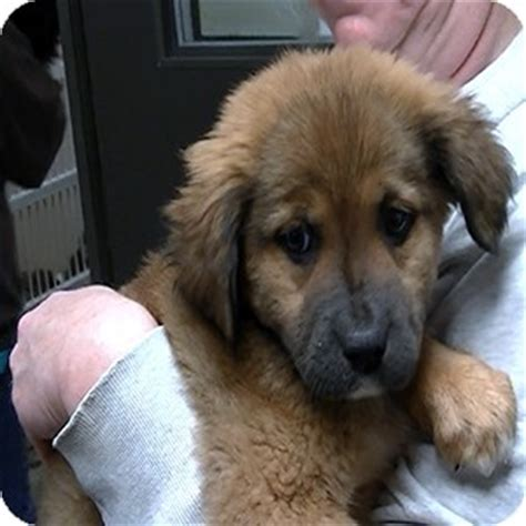 german shepherd puppies vt mix breed pictures and photos 26 breeds picture