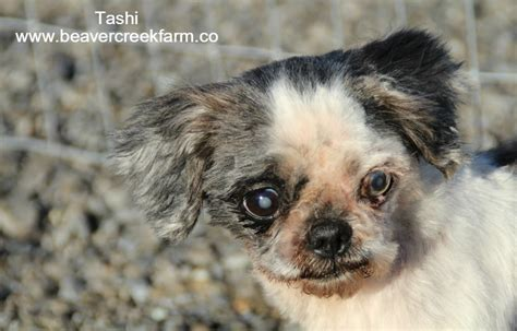 shih tzu going blind nobody s a blind shih tzu beaver creek farm sanctuary