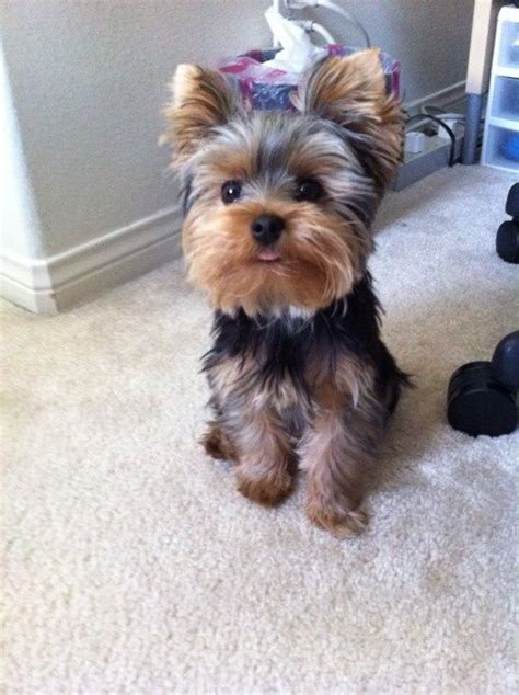 haircuts for yorkies with thin hair meet pebbles our baby official threadsence mascot