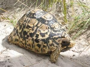 leopard tortoise animal wildlife
