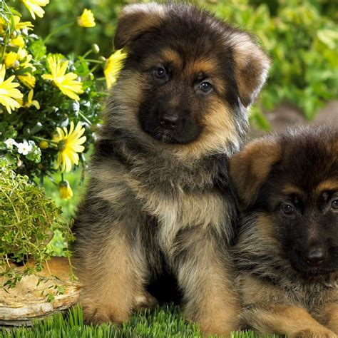 miniature german shepherd puppies for sale mini german shepherd puppies puppies puppy