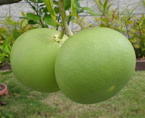 tanaman jeruk bali pomelo bibitbunga