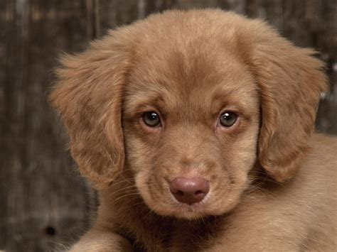 duck puppy scotia duck tolling retriever puppy photo and wallpaper beautiful