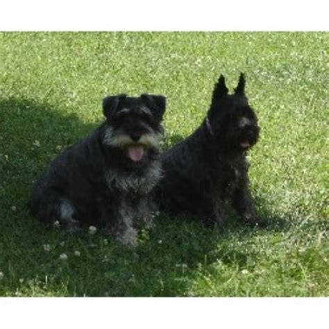 puppies in md miniature schnauzer breeders in maryland breeds picture
