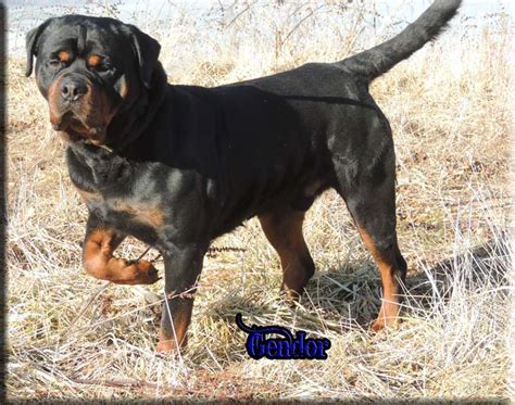 german rottweiler puppies for sale in indiana rottweiler breeders rottweiler puppies for sale german rottweilers for sale
