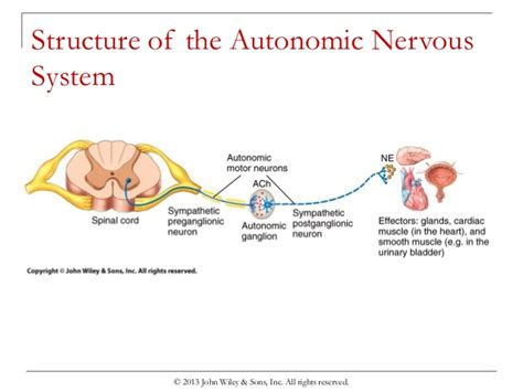 diagram of autonomic nervous system chapter 11 autonomic nervous system