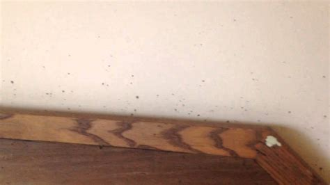 bed bugs on walls bed bug fecal stains on wall in asbury park nj youtube