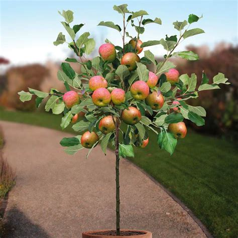 fruit trees that grow in clay soil growing apple trees in pots how to grow apple tree in a