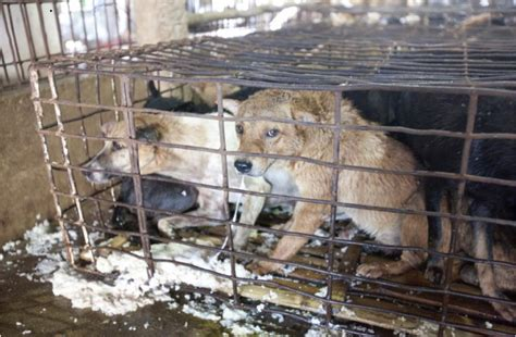 puppy vomiting after traditional food and the suffering of and dogs news vietnamnet