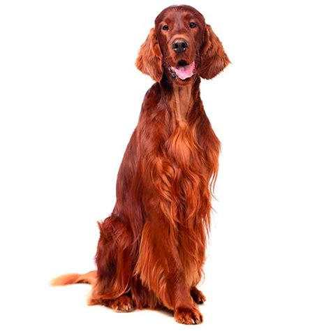 red setter dog temperament irish setter irish setter pet insurance dog breed info