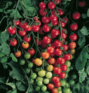 Biji Bibit Benih Tomat Cherry Kuning Tanaman Hias Bkn Bonsai Kebun 1 jual bibit biji seed tomat hias import sweety cherry
