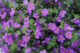 real world gardener bacopa is plant of the week
