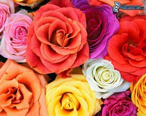 immagini fiori colorati fiori colorati