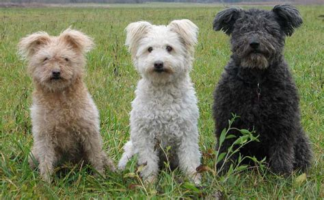 pumi puppies for sale pumi breeders within the united states available pumi puppies siggy s paradise