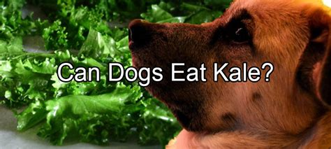 can dogs eat limes kale pethority dogs