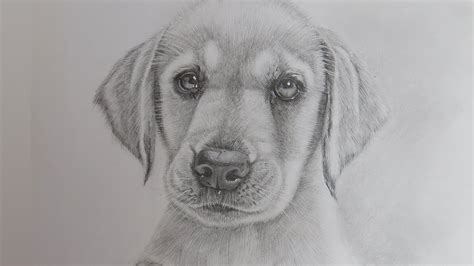 draw  realistic puppy dog labrador retriever youtube