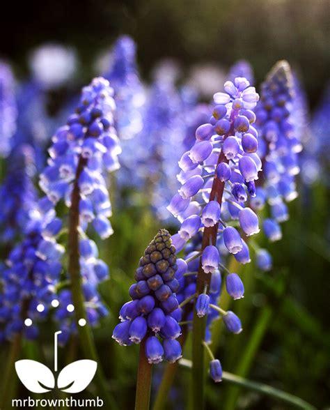 blue flower bulbs miniature garden bulbs for small space gardens mrbrownthumb