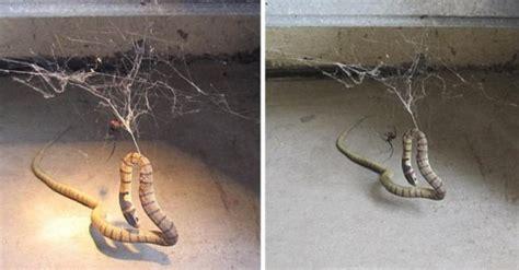 giant spider  deadly snake battle    australia