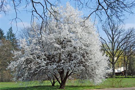 white treee free stock photos rgbstock free stock images white