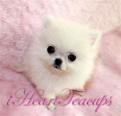 teacup pomeranian puppies for sale in arizona 17 best images about t cup puppies for sale on teacup maltese