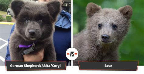 puppy that looks like a cub dogs that look like bears 18 puppies that look like bears