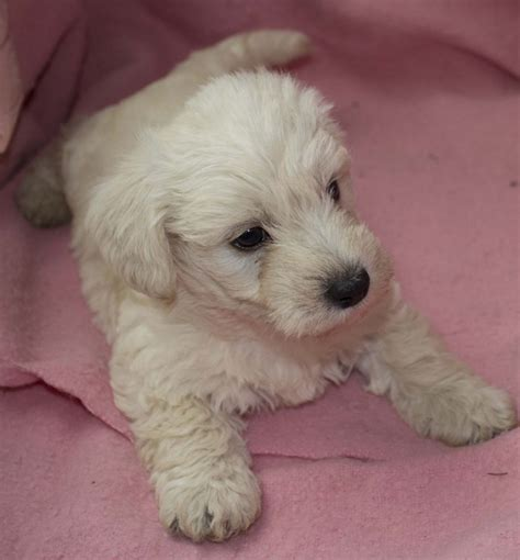 westiepoo puppies stunning westiepoo puppies ready to go next week castle douglas kirkcudbrightshire