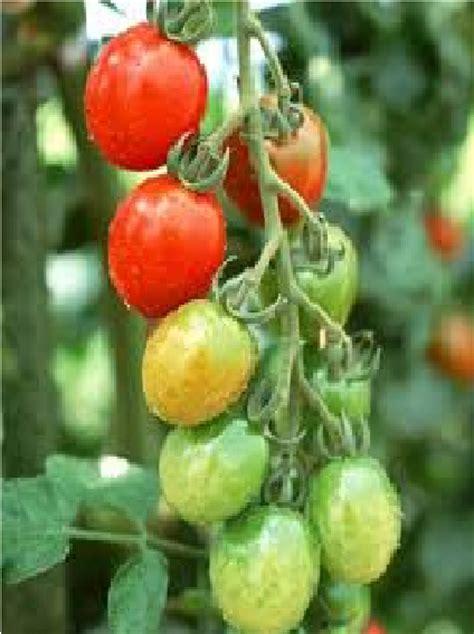 Plastik Tomat 1 cara menanam tomat dengan sistem hidroponik