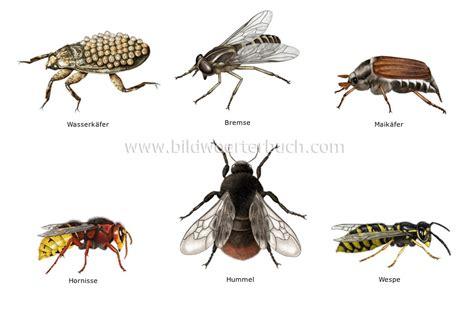 hornisse im haus tierreich insekten und spinnentiere beispiele f 252 r
