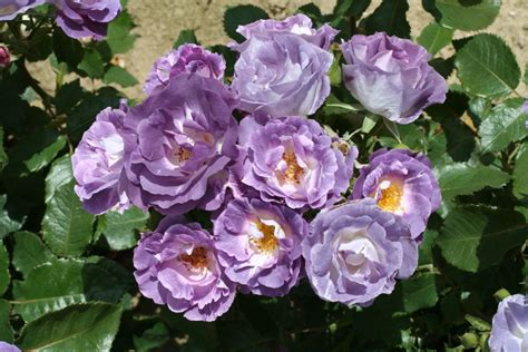 Vines For Trellis 2014 New Rose Introductions Chamblee Rose Nursery Fine