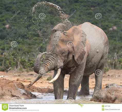 Sprei My Olifant elephant spraying water to royalty free stock image