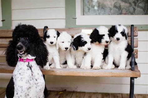 sheepadoodle puppies sheepadoodle characteristics appearance and pictures