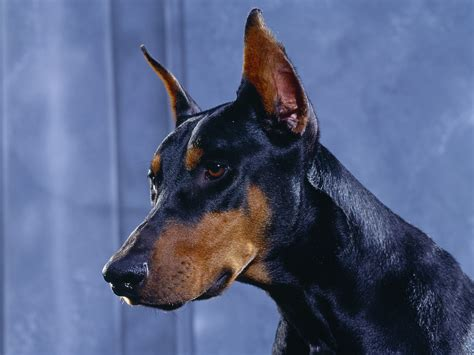doberman pinscher free hq doberman pinscher wallpaper free hq wallpapers