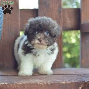havanese breeders md havanese puppies for sale in pa md ny nj