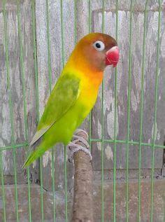 Bird Josan lovebird josan aneka jenis burung lovebird bird