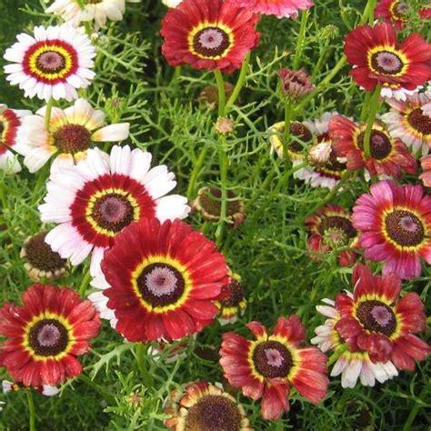 Isi 7 Biji Benih Biji Paprika Mix 1 jual mix isi 20 benih biji chrysanthemum krisan mix