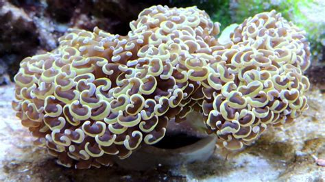 Gold Coral gold hammer coral the finally comes true
