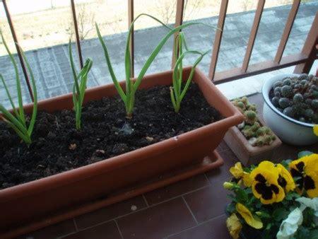 piantare aglio in vaso orto sul balcone come coltivare l aglio in vaso