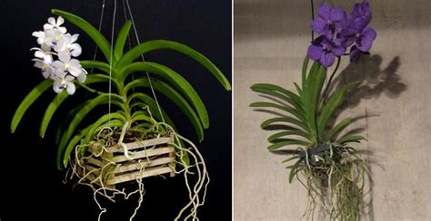 orchidea vanda in vaso di vetro vanda orchidofili italia