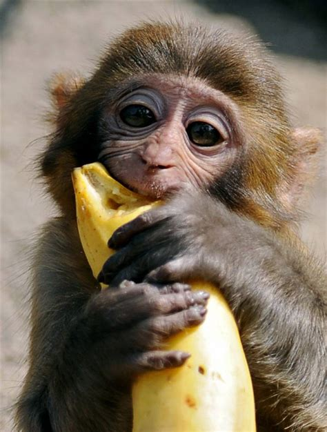 Pictures of cute baby monkeys, cute baby monkey, cute